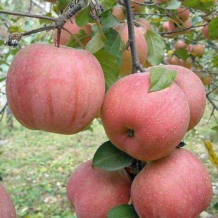 Yantai fuji apple 113 size products china yantai fuji for 100 degree chinese cuisine