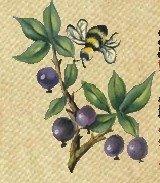 PATAGONIAN WILD BLUEBERRY