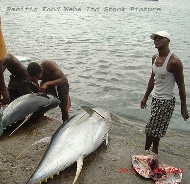 New Stock Whole Round Tuna * Skip Jack * Blue Fin Tuna * YFT available for Export