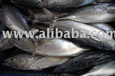 Eastern little tuna - photo#39