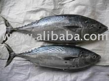 Fresh and Frozen Bonito Fish