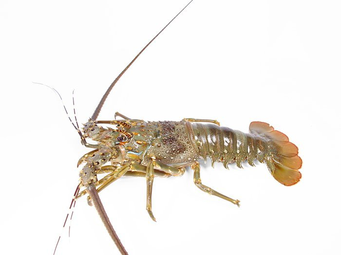 Live brown crab (cancer pagurus), Live lobster (homarus gammarus) products,United Kingdom Live ...