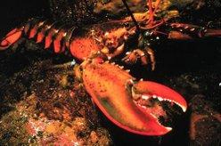 Lobster Bodies
