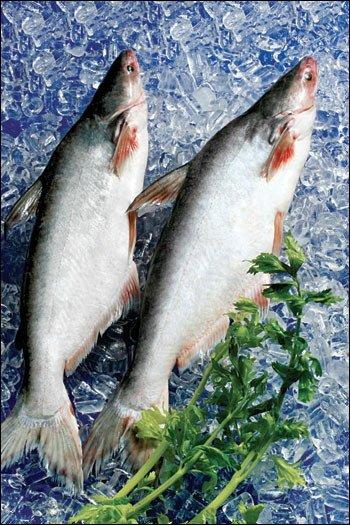 Sutchi Catfish / Pangasius