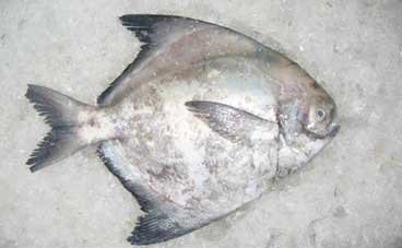 Chinese Pomfret Products Myanmar Chinese Pomfret Supplier