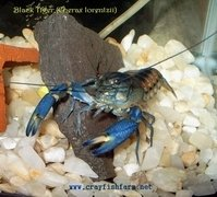Black Tiger Crayfish (Cherax Lorentzii)