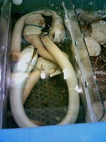 Frozen and Alive Geoduck