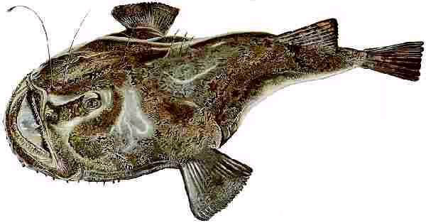 Anglerfish (Lotte Or Lophius Piscatorius )