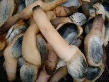 Fresh and frozen Geoducks