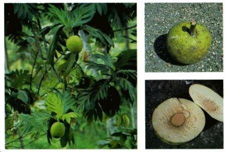 Запаха отходов по популярности несравним с плодами хлебного…