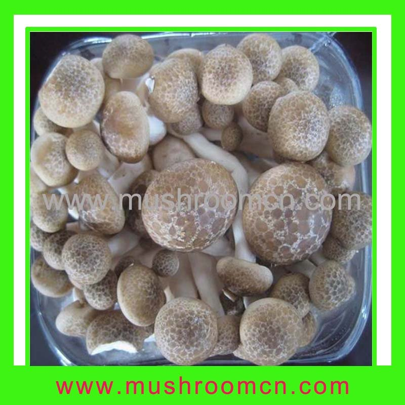 brown beech mushroom(hot sale)