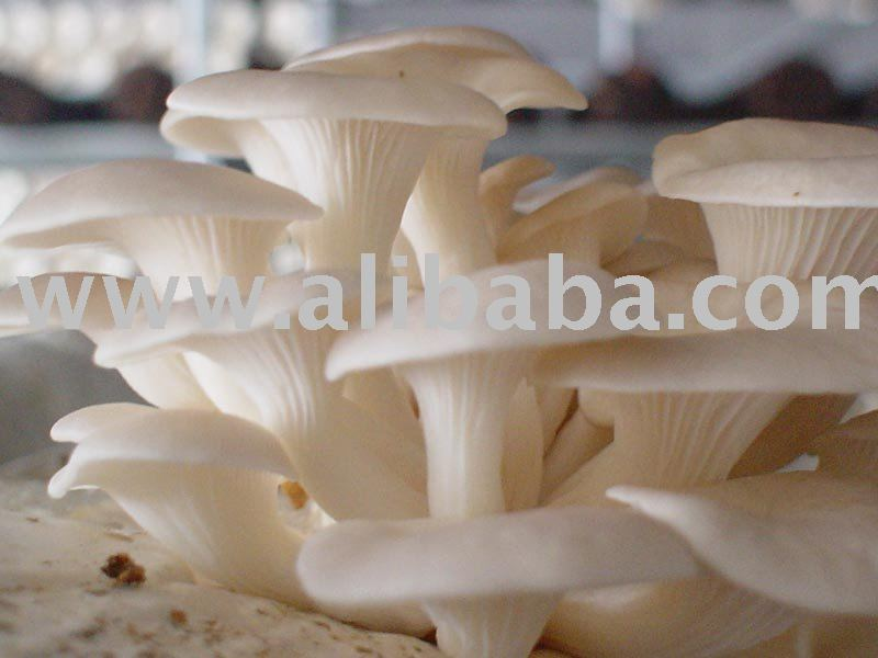 Sell Oyster Mushrooms Dried products,India Sell Oyster