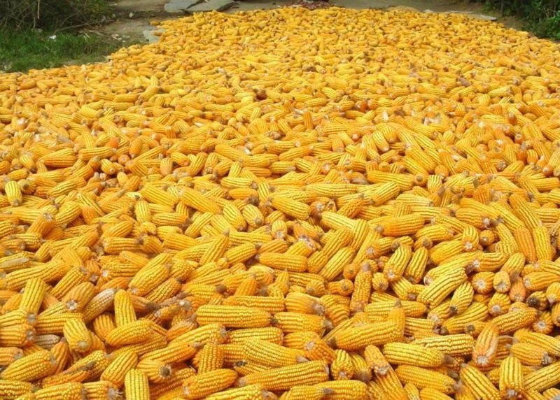 Yellow white broomcorn millet products cameroon yellow white broomcorn