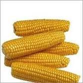Yellow Corn #2