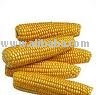 fresh yellow corn seeds for sell