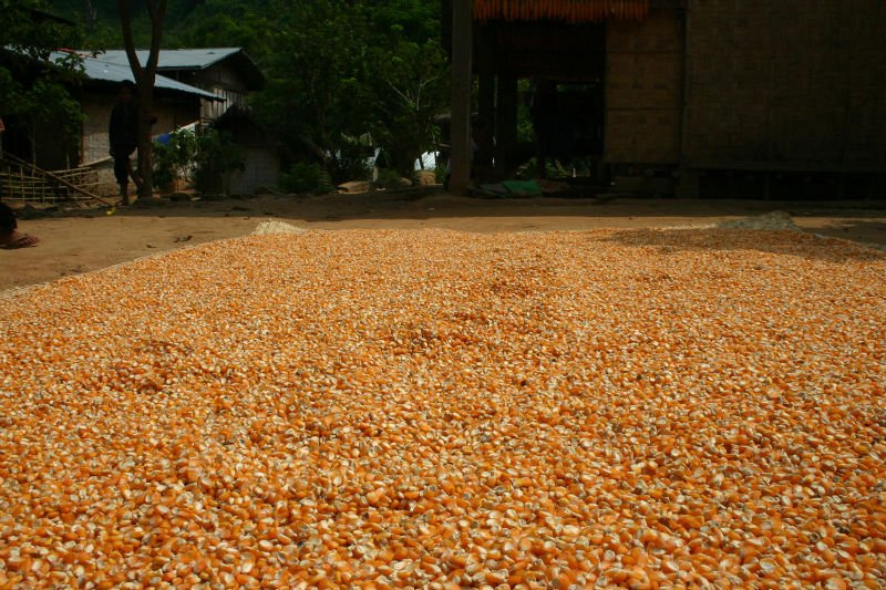White corn for sale products cameroon high quality dried white corn