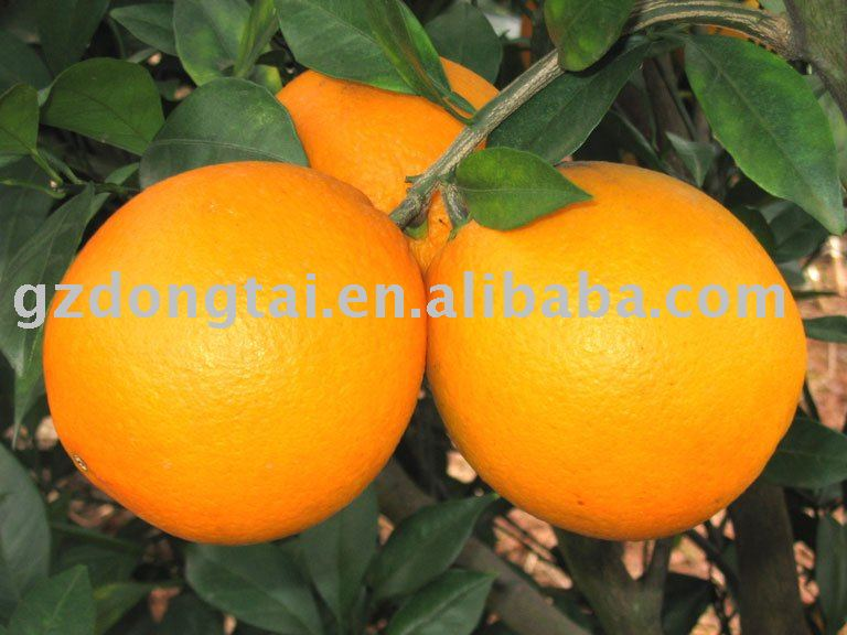 Gannan yellow  navel orange
