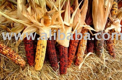 Yellow Dried fresh and dried corn for sale