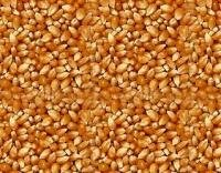 Quality  White  and  Yellow   Corn  For  Sale