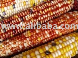 Qaulity Red, white  and  yellow   corn  for  sale