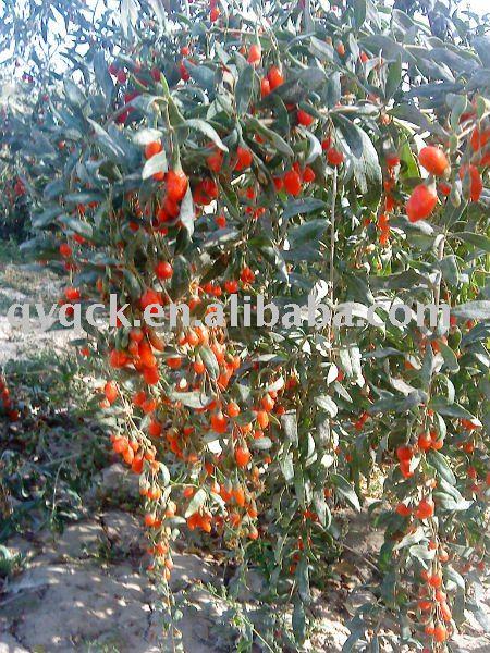 Lycium barbarum goji berry