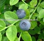 Blueberry, Organic
