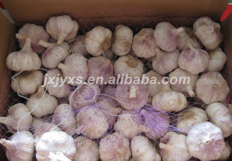 common garlic