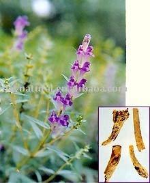 Radix Scutellariae P.E. -- HPLC 80%-98%