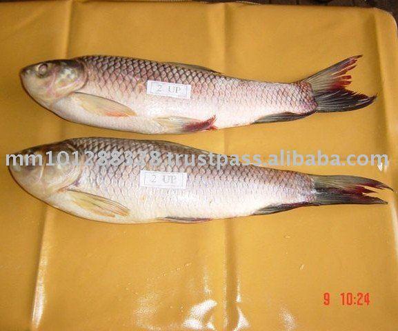 Rohu Frozen Fish Myanmar