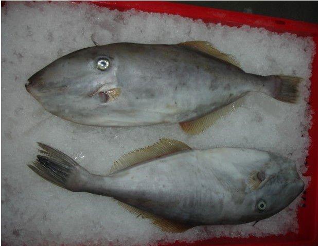 whole round Leather Jacket fish products,China whole round ...