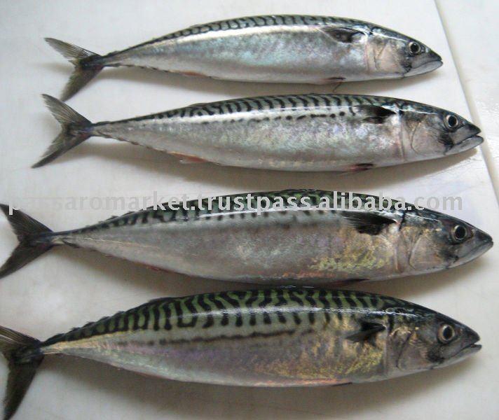 Mackerel Fish Products India Mackerel Fish Supplier