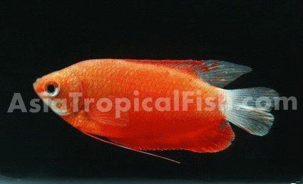 Dwarf Tropical Fish Tropical Fish / Dwarf Gourmi