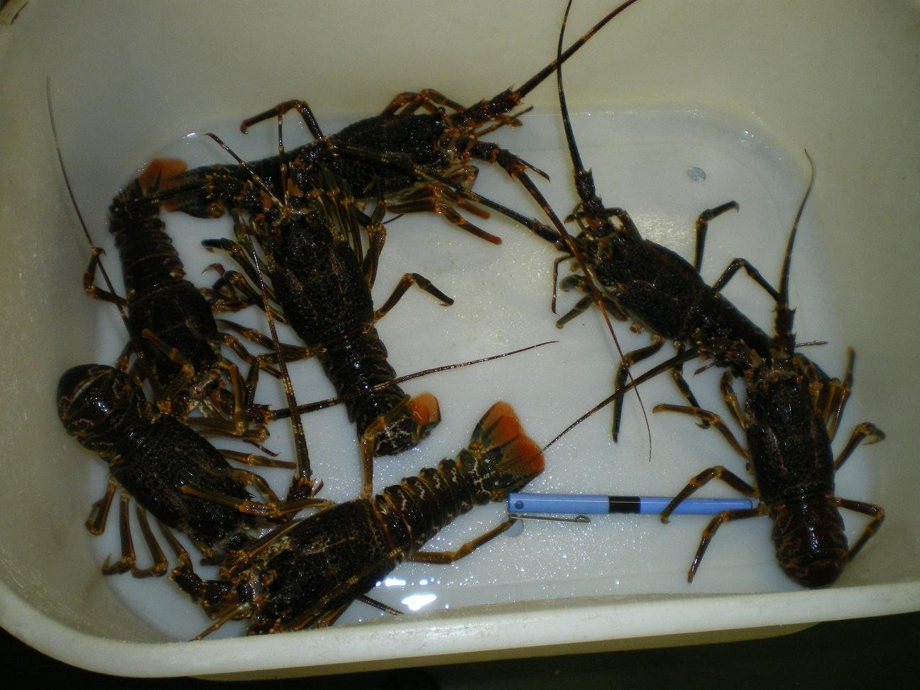 Baby Lobster, Consumables Crayfish products,Indonesia Baby Lobster, Consumables Crayfish supplier