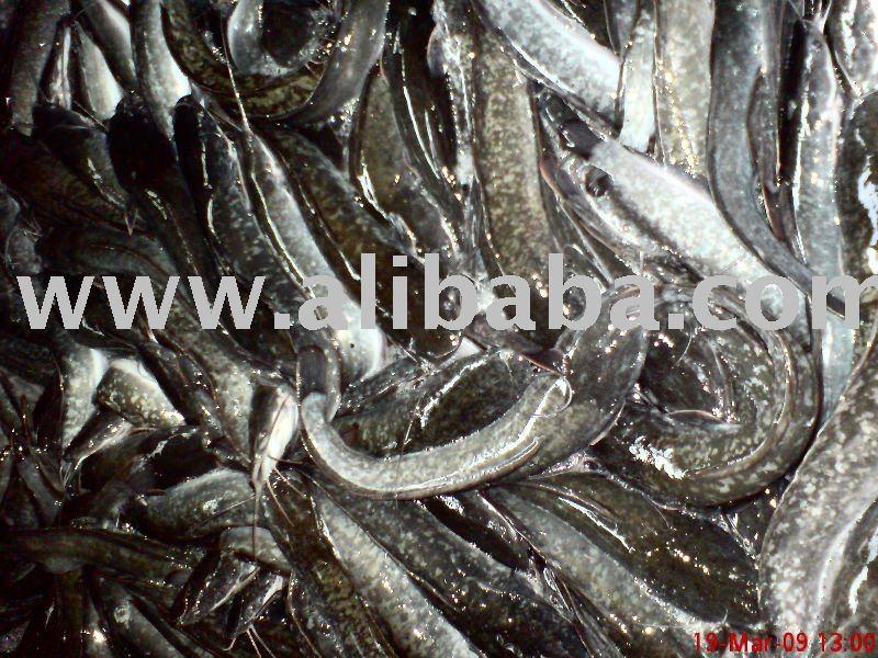 Untuk Dijual Ikan Keli @ Cat fish