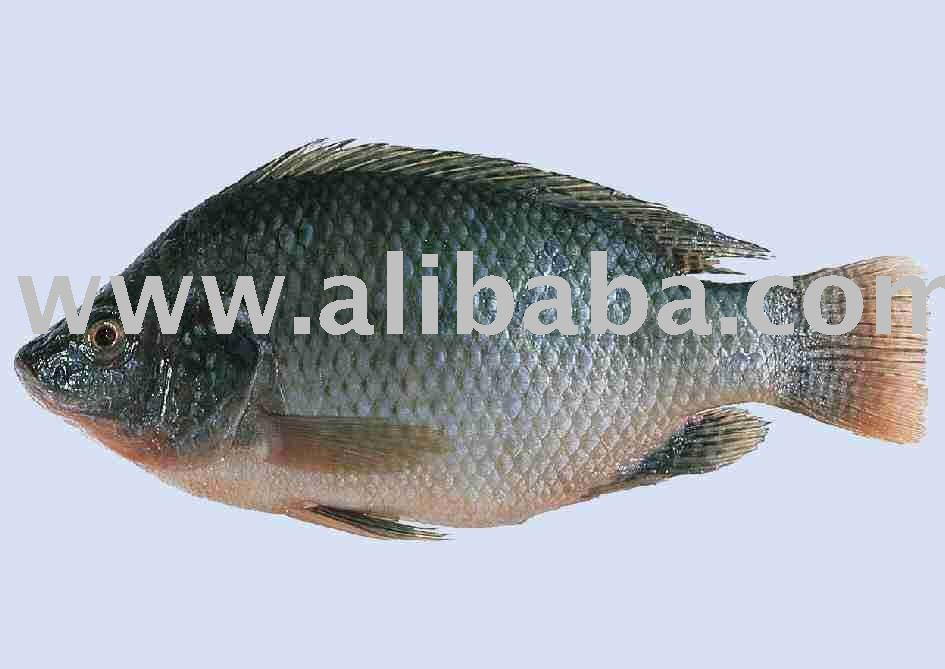 Mullet fish products iran mullet fish supplier for Pictures of mullet fish