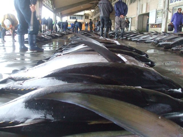 Maguro suppliers exporters on for Sashimi grade fish near me