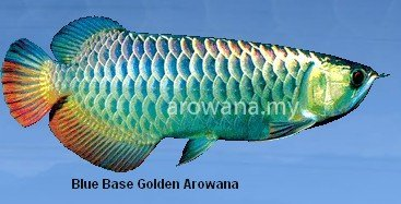 Blue Base Golden Arowana Fish