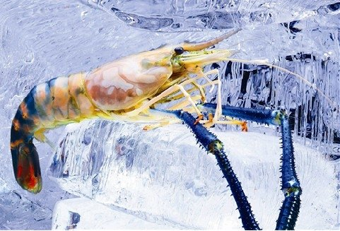 WHOLE SCAMPI (FRESH WATER PRAWN)