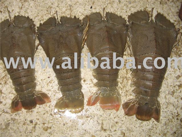 Slipper Lobsters products,Philippines Slipper Lobsters supplier