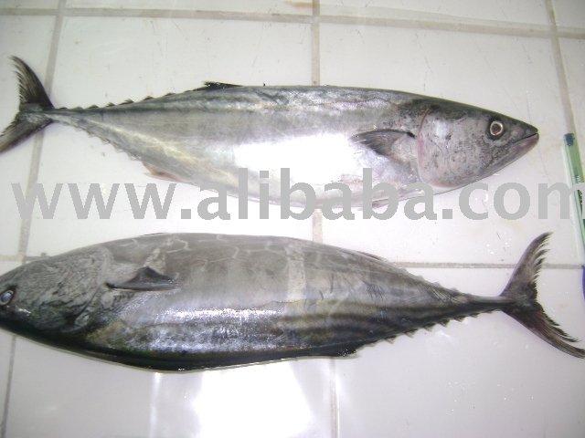 Tuna   Bonito  (Sarda Chiliensis)