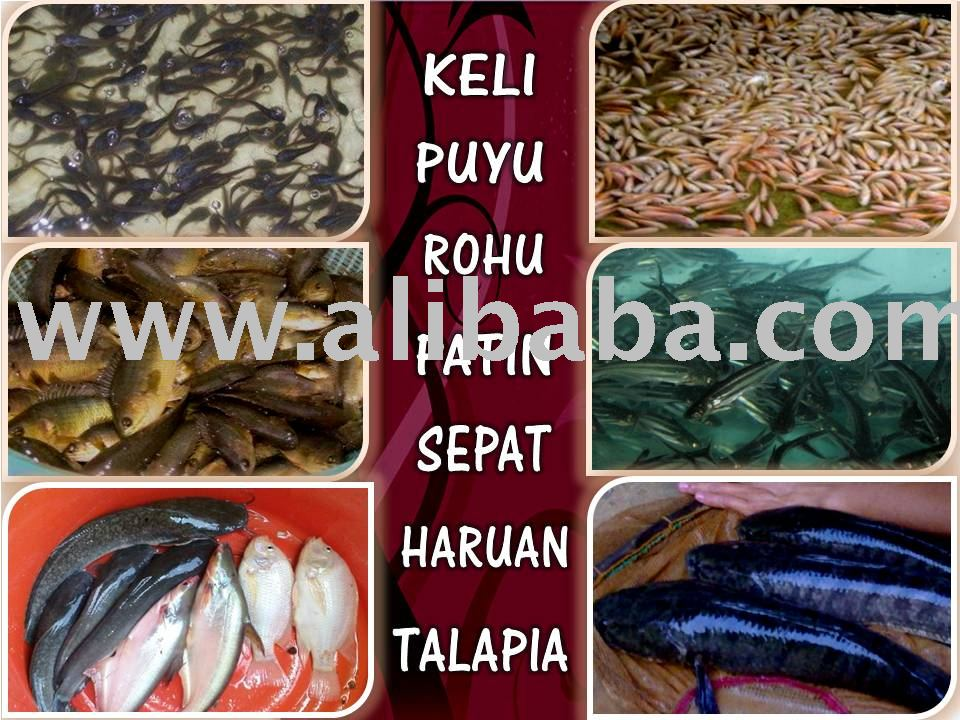 Catfish/ Ikan Keli