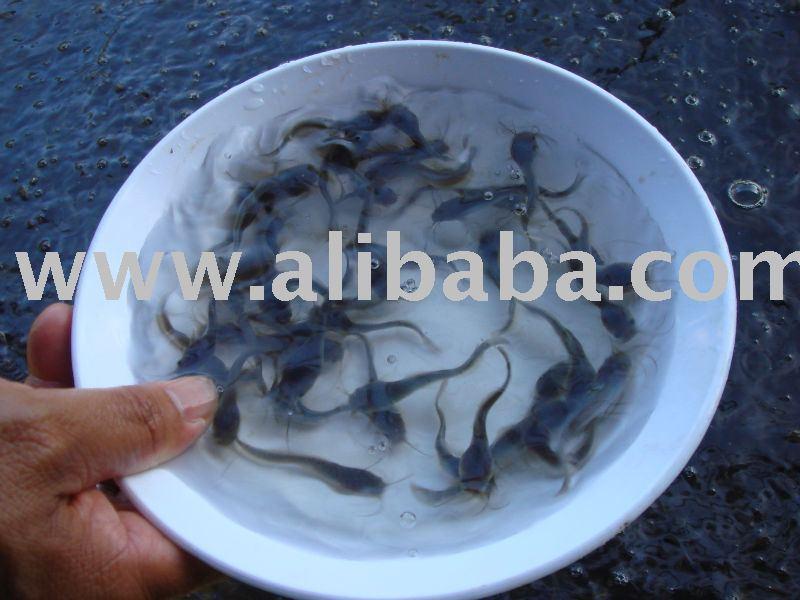Thailand Cat Fish