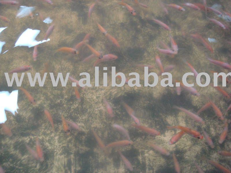 Tilapia Thailand