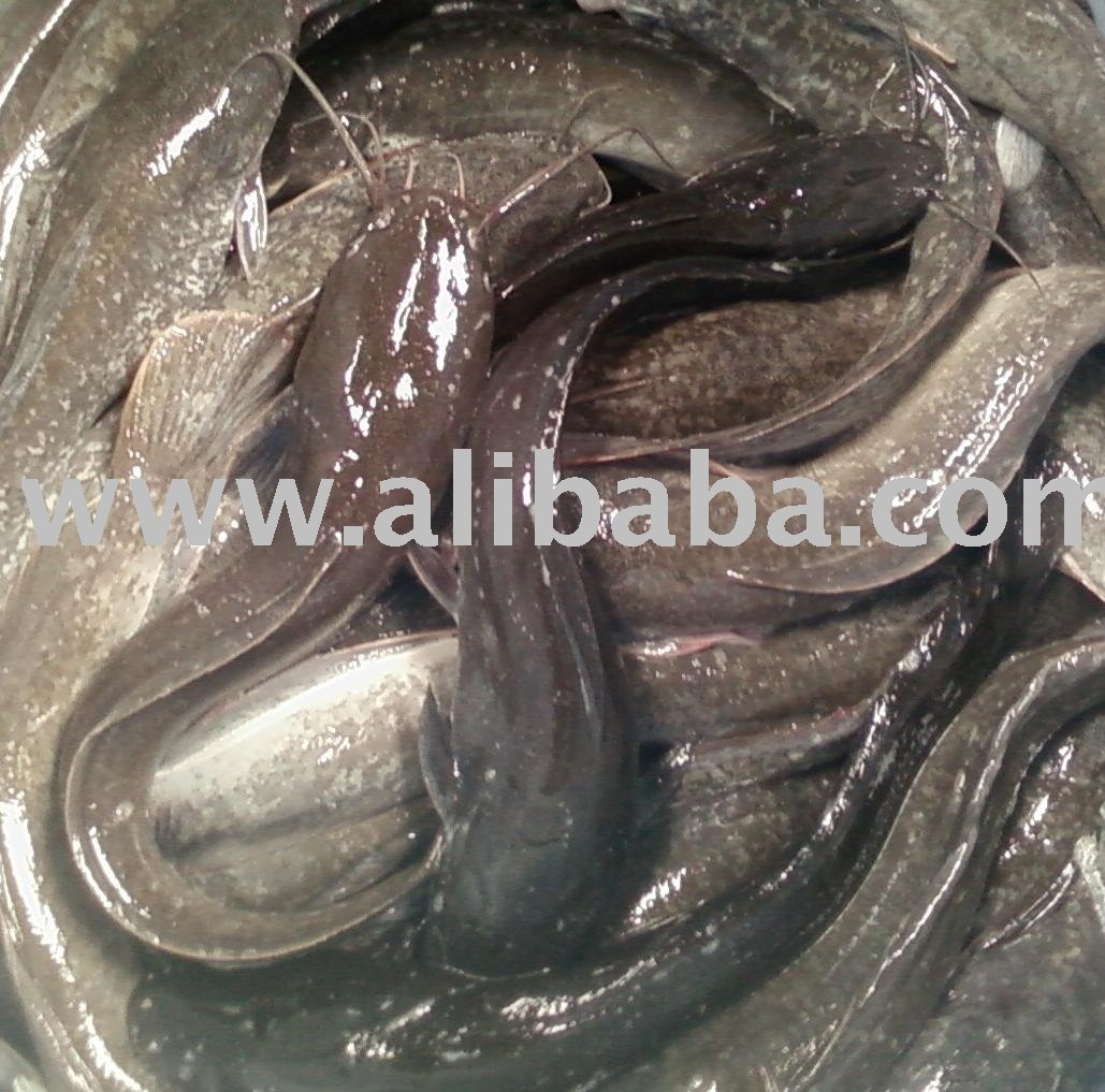 African Catfish (ikan keli-Malaysia)