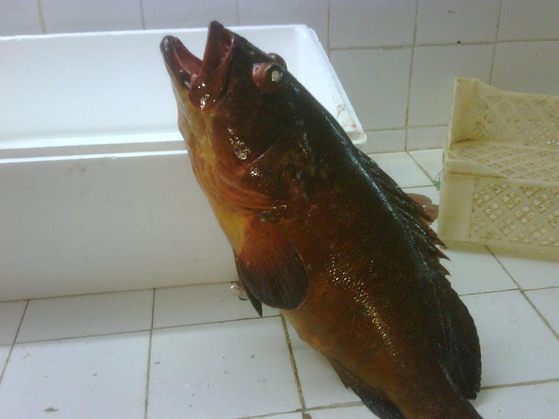 Mero Jaune (epinephelus guaza)  fish