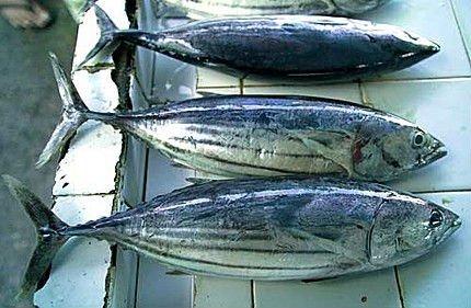 Yellow fin Tuna, Blue fin Tuna, Frozen Skipkjack Tuna, Frozen Bonito Tuna for sale