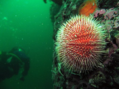 Red sea urchin roe