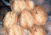 Fresh Coconuts Semi Husk