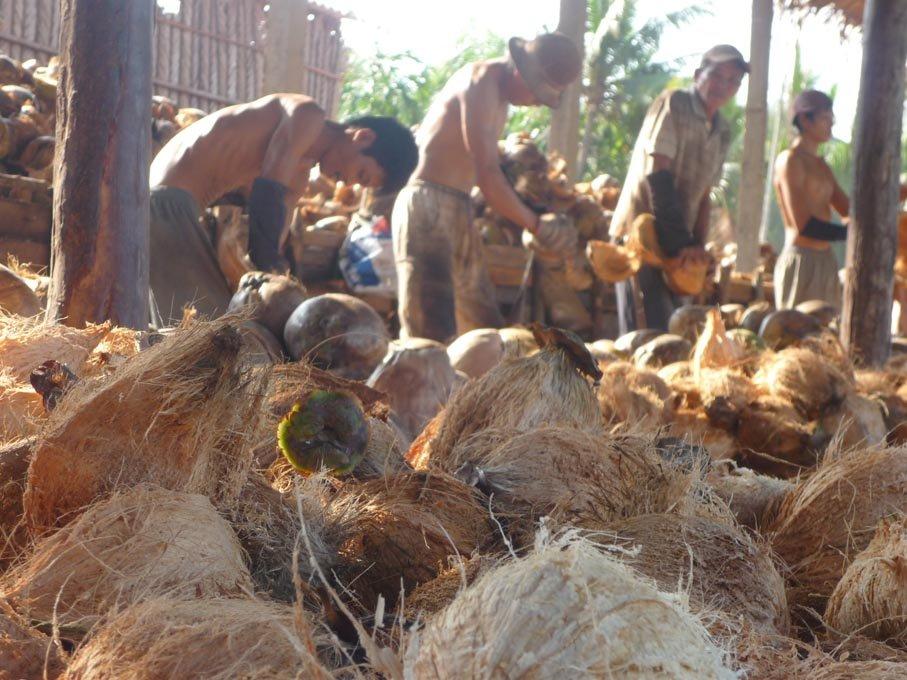 fresh coconut semi husk