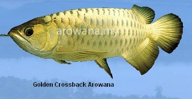 Golden Crossback Arowana Fish